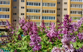Picture flowers, nature, the city, lilac