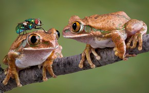 Wallpaper frogs, background, fly, two, branch, macro
