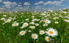 Picture Russia, chamomile, flowers, meadow
