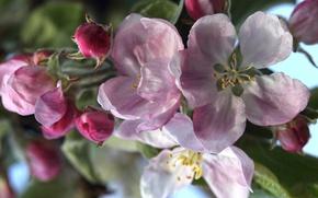 Wallpaper macro, spring, Apple