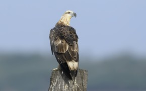 Picture the sky, nature, bird, White bellied sea eagle