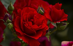 Picture flowers, red, Roses, flowering
