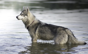 Picture dog, husky, in the water