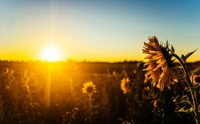 Picture light, sunset, sunflower