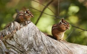 Picture stump, pair, animals, rodents, chipmunks