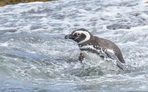 Picture sea, water, bird, penguin, Magellanic penguin