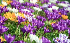 Picture Flowers, Nature, Spring, Flowering, Crocuses