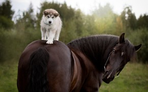 Picture horse, horse, dog, puppy, rider, Siberian Husky