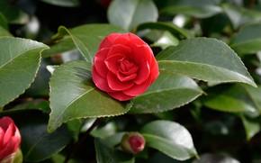Picture Leaves, Camellia, Leaves, Camellia