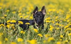 Picture flowers, dog, puppy, dandelions, clearing