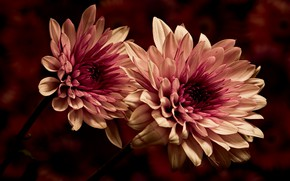 Wallpaper dahlias, two-tone, petals, Terry, macro, the dark background, flowers
