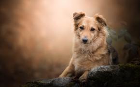 Picture look, stone, portrait, dog