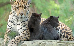 Picture animals, family, kids, care, mom, zoo, jaguars