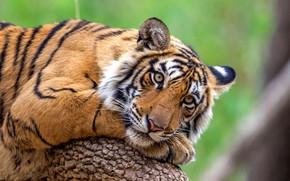 Picture cat, predator, Bengal tiger