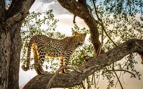 Wallpaper wild cat, on the tree, predator, leopard