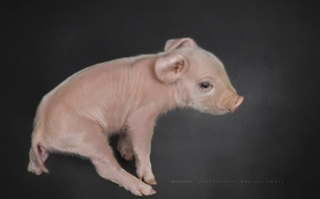 Picture background, pig, pig