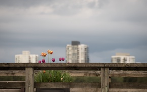 Picture flowers, the city, tulips
