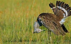Picture bird, feathers, beak, tail, Kenya, reserve, Masai Mara, kori bustard