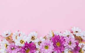 Picture flowers, background, chamomile, pink, fresh, chrysanthemum, pink, flowers, spring, tender