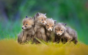 Picture Fox, kids, cubs, little foxes
