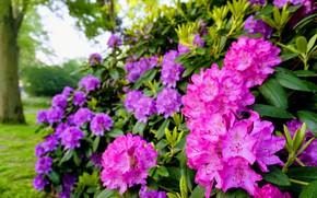 Picture the bushes, rhododendron, Azalea
