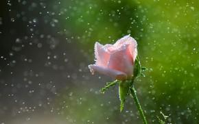 Picture pollen, pink rose, drops, blur bokeh
