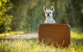 Picture grass, dog, case, French bulldog
