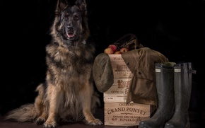 Picture background, dog, boots, boxes, cap, shepherd
