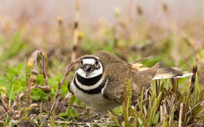 Picture nature, bird, noisy Plover
