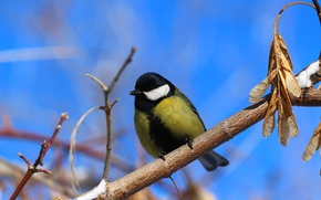 Picture the sky, bird, titmouse, twigs