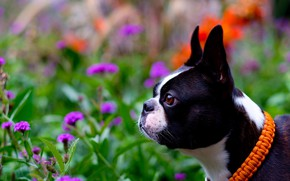 Picture portrait, flowers, dog, Boston Terrier, face, profile, bokeh, collar
