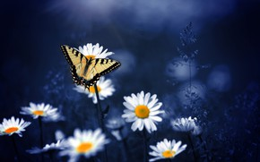 Wallpaper butterfly, nature, background, chamomile, macro, flowers