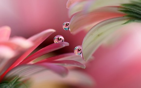 Picture drops, petals, gerbera