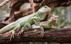 Picture tree, pair, lizards