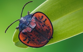 Picture macro, beetle, insect, the leaf beetle