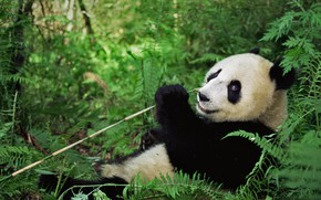 Picture bear, China, reserve Wenchuan-Oolong, the giant Panda