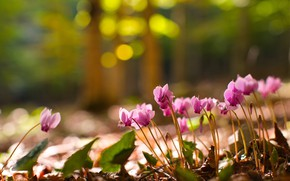 Picture forest, light, flowers, nature, background, glade, spring, pink, bokeh, cyclamen, spring