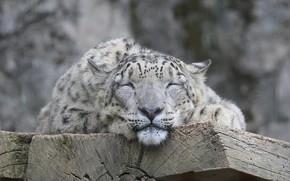 Picture cat, face, IRBIS, snow leopard