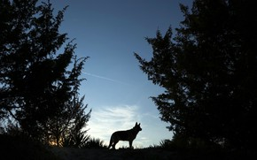 Picture the sky, trees, sunset, dog, the evening, silhouette