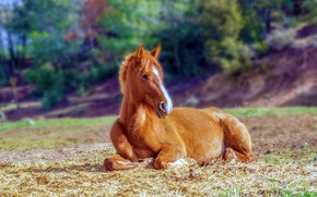 Picture field, horse, horse, lies, foal