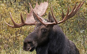 Picture nature, horns, moose