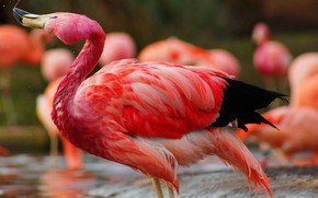 Picture bird, feathers, beak, Flamingo, neck