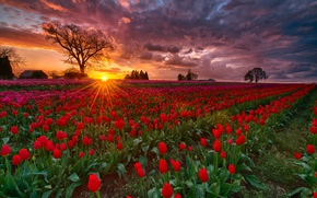Picture field, the sun, rays, sunset, spring, the evening, Oregon, tulips, USA, farm