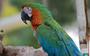 Picture nature, stay, bird, parrot, Ara