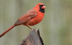Picture birds, cardinal, red cardinal