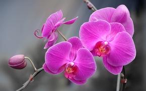 Picture paint, petals, Orchid, inflorescence