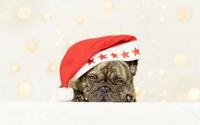 Picture look, background, dog, face, cap, doggie, French bulldog