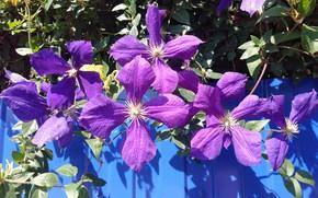 Picture flowers, color, clematis, Meduzanol ©