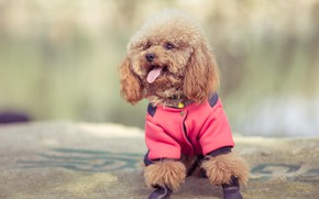 Picture baby, costume, puppy, poodle