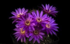 Picture light, petals, cactus, stamens, black background, purple flowers